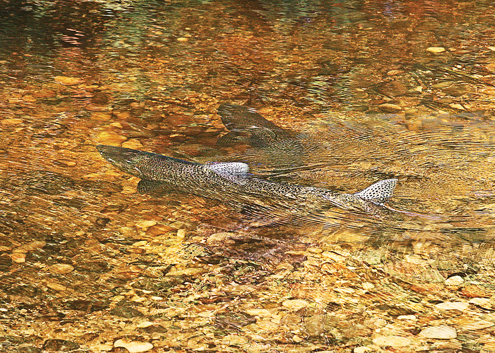 Michigan Salmon in the River