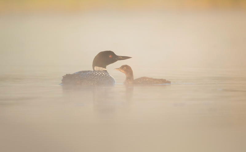 Adult loon and chick
