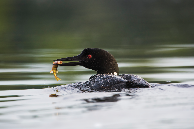 Loon with prey