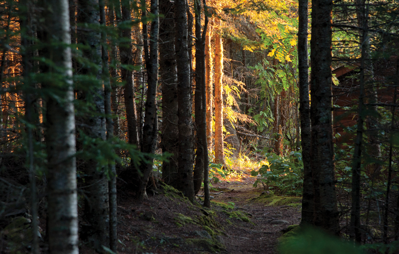 Forest in Isle Royale