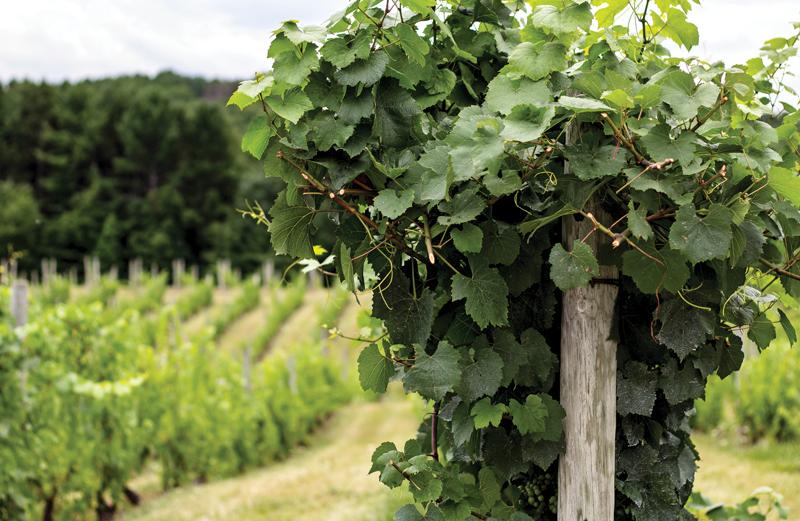 Vineyard Field at Willows Vineyard