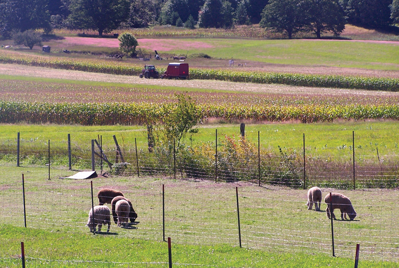Sheep graze in the field at Promised Land Sheep and Beef.
