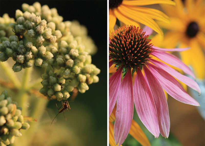 Boneset and Echinacea