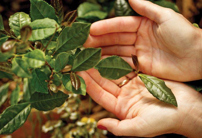 Tea leaves in hands