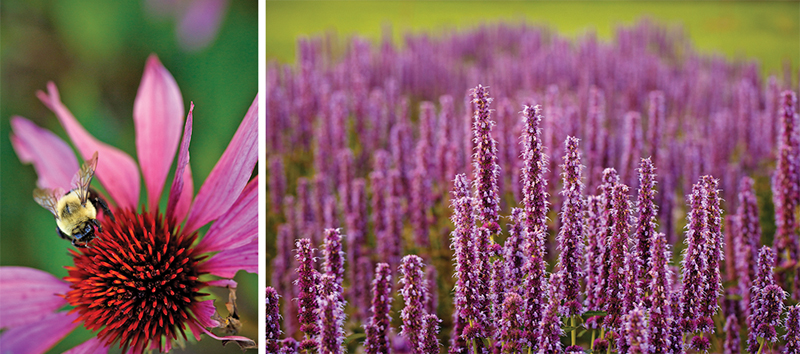 Echinacea and Hyssop