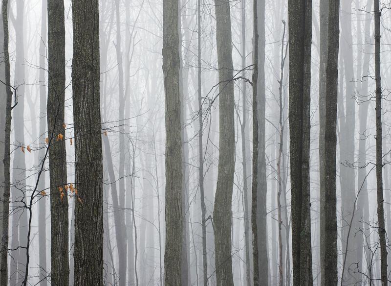 Foggy Winter Woods