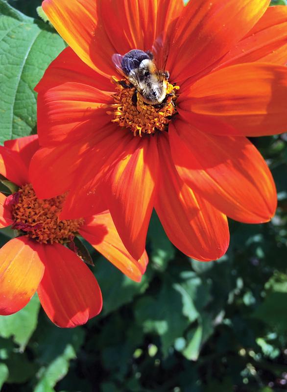 Bee in pollinator garden