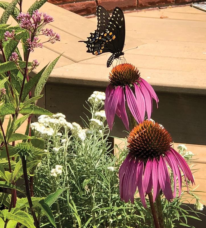 Butterfly in pollinator garden