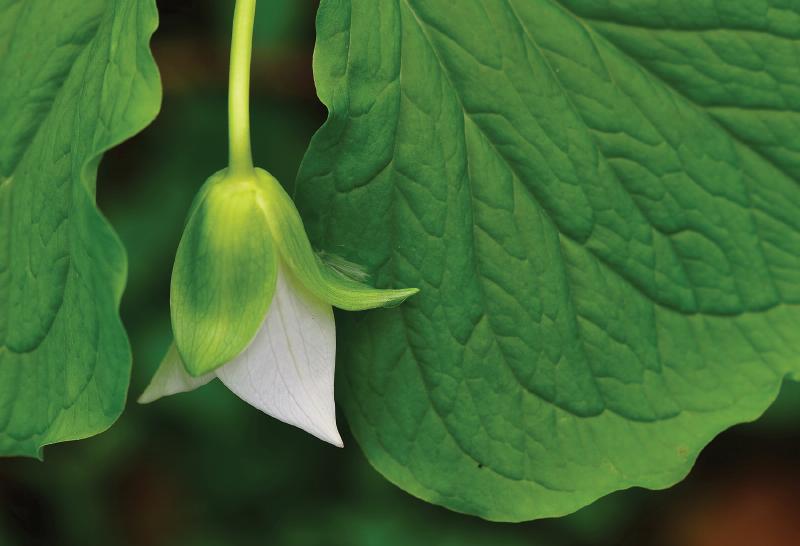 Bent trillium blossom opening