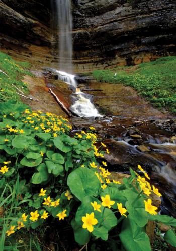 Marsh marigolds at Munising Falls