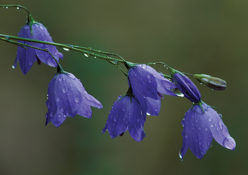 Hairbells with raindrops