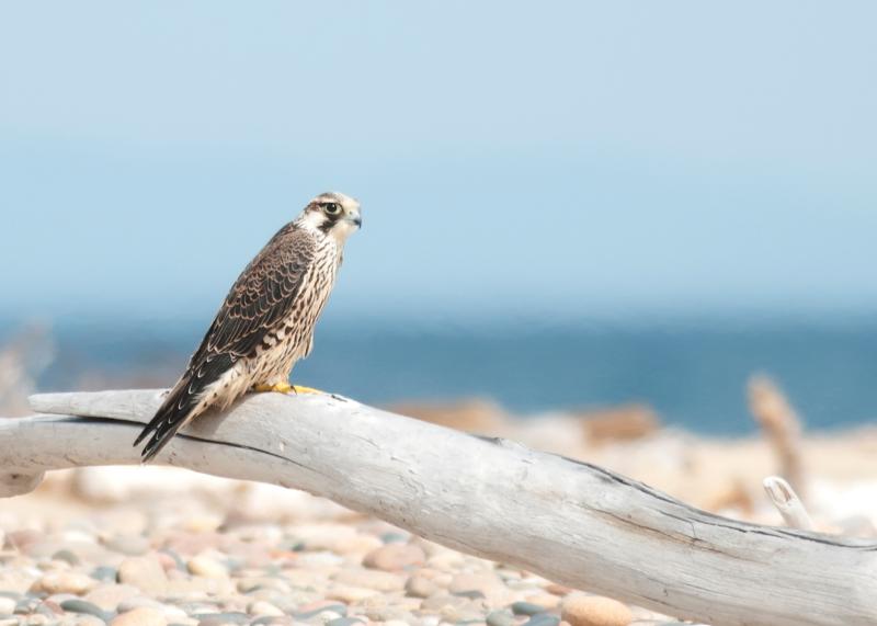 """Peregrine Falcon on Log"""