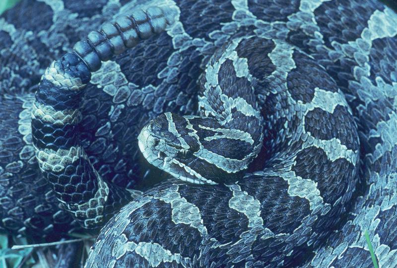 """""""Eastern Massasauga Rattlesnake"""""""