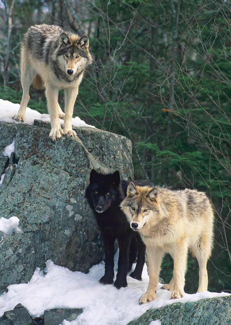 """""""Rendezvous, Gray Wolves"""""""