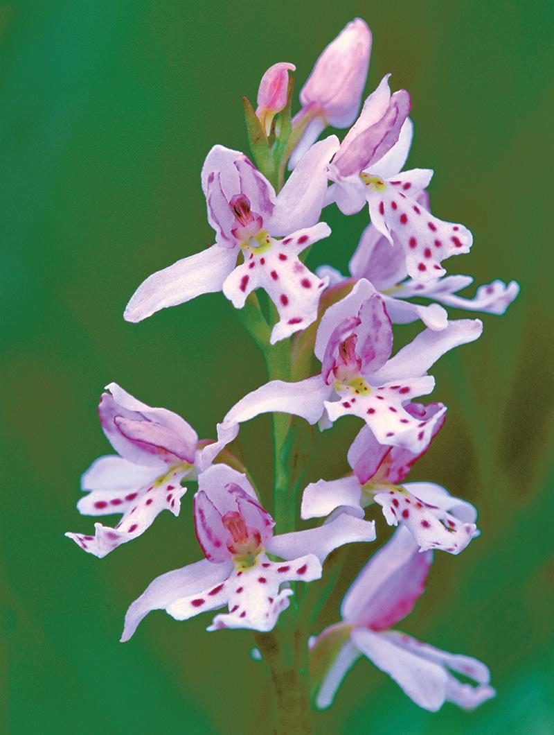 """Amerorchis Rotundifolia, Blossom Column"""