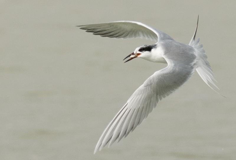 """Forster's Tern in Flight"""