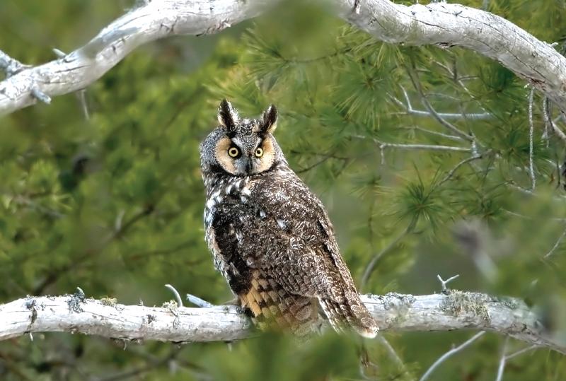 """""""Long-Eared Owl"""""""