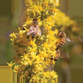 Saul Lake Bog bee