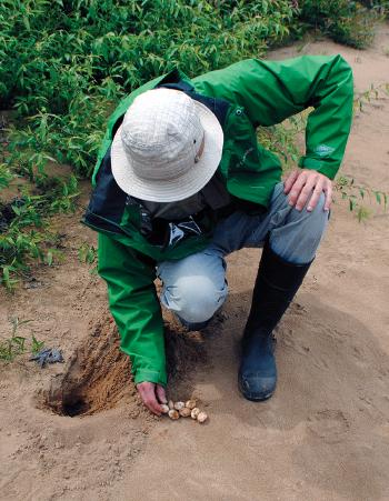 Jim Harding and wood turtle nest
