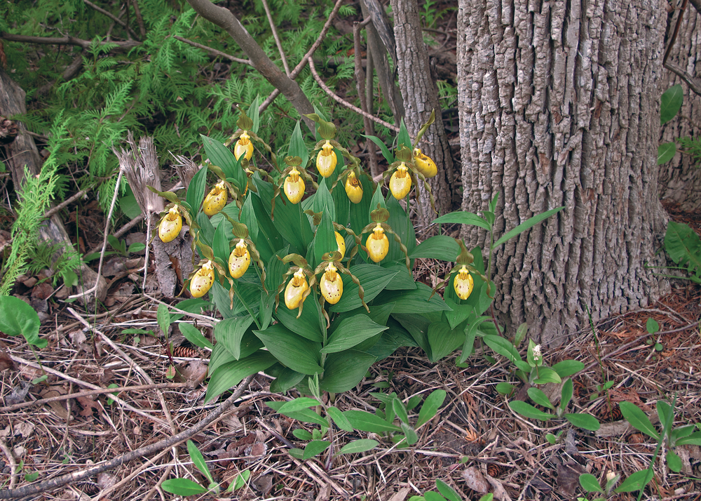 Yellow Lady's Slipper Orchids
