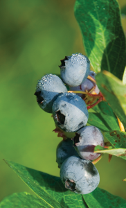 Blueberries DC Burdick