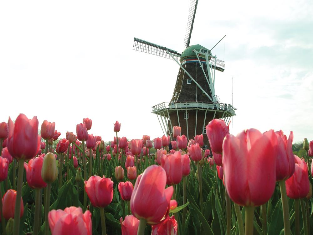 DeZwaan Windmill Tulips