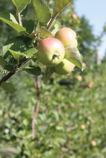 Nehou apples