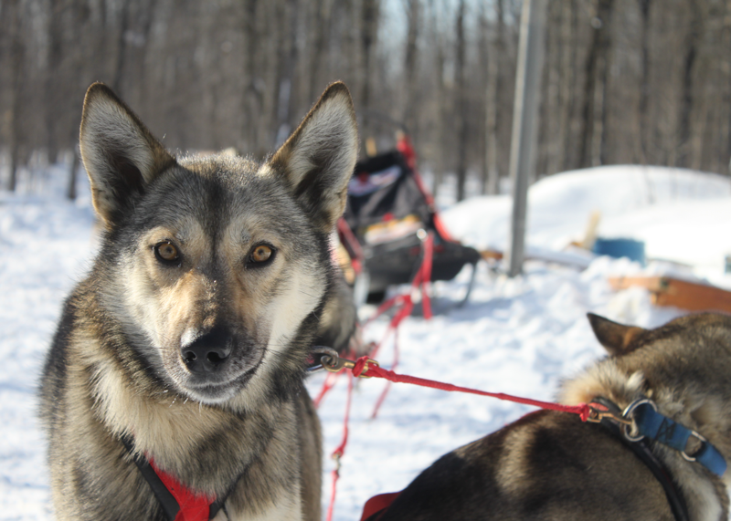 Dogs Gearing up for Dogsled Race