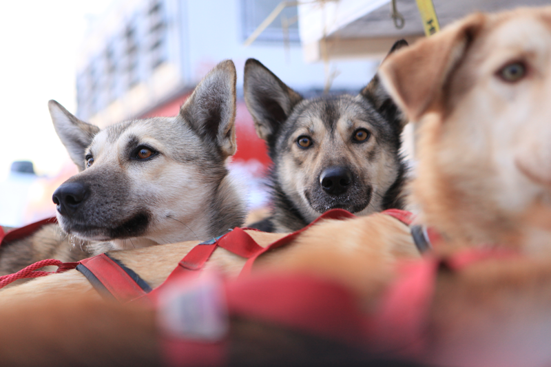 dogsled racing at starting line