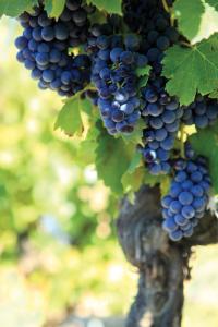 Vineyard grapevine