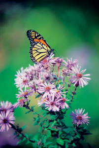 close up of a monarch butterfly on a perennial