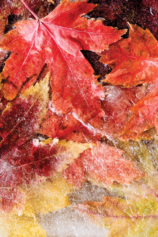 iStock photo of frozen leaves