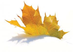 iStock photo of golden maple leaf