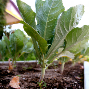 Winchester Garden Vegetables