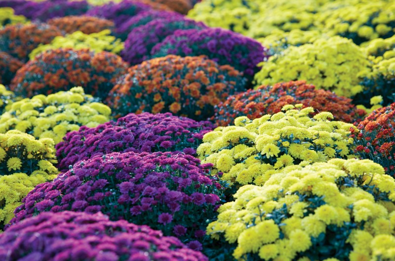 Chrysanthemums-and-More