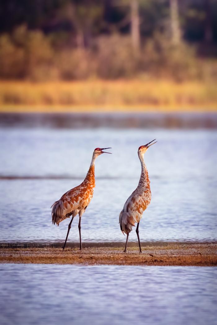 Cranes Calling