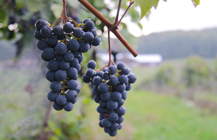Marquette Grapes - Photography by Kim Schneider