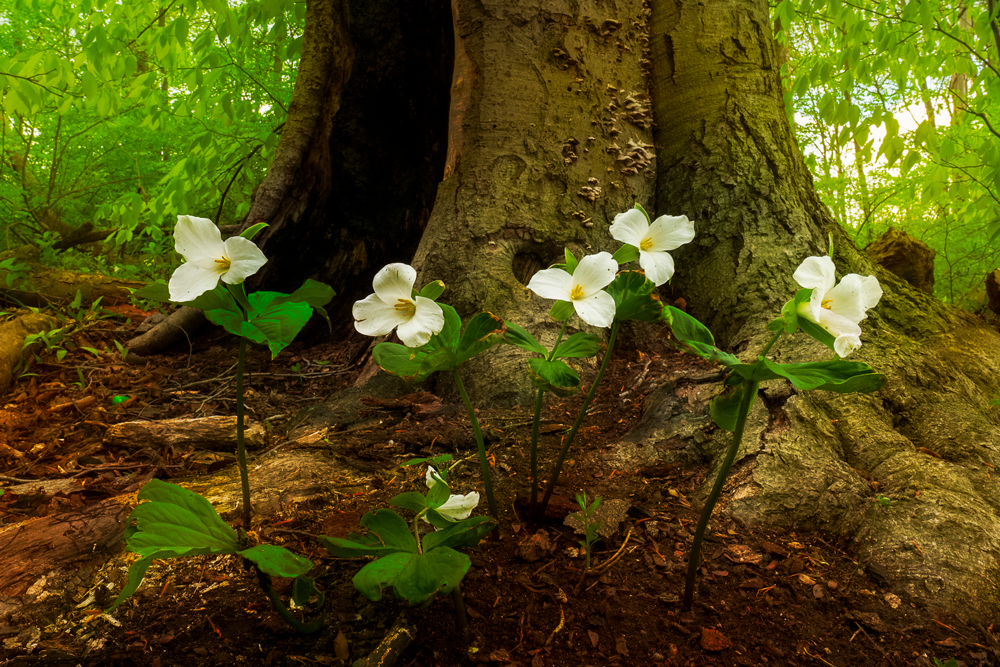 White trilliums growing at a local park.