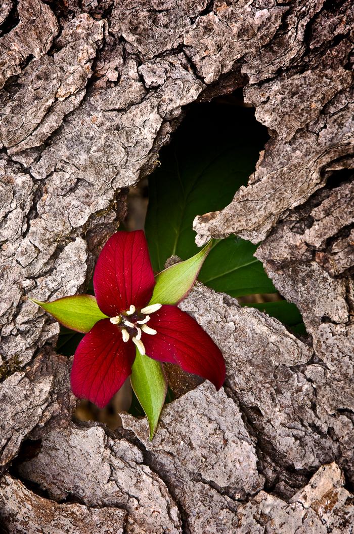 A red trillium grows through bark