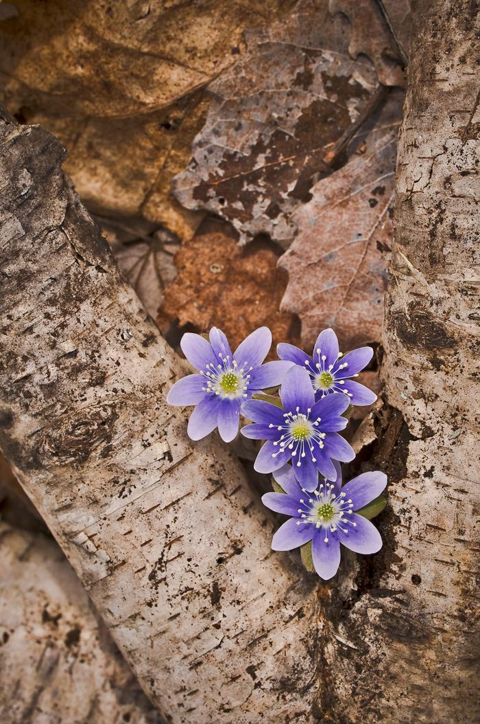 purple coneflowers in bloom, hepaticas growing through birch bark and leaves.