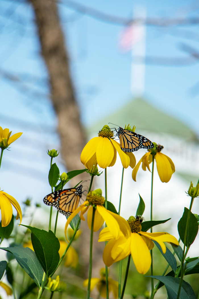 A monarch and bee share a meal, drinking nectar from a cutleaf coneflower in the Grand Hotel's garden.