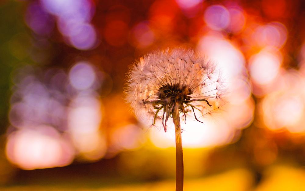 A dandelion seedling at sunrise.